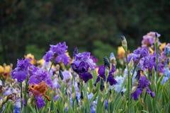 Fleurs d'iris Photos stock