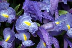 Fleurs d'iris avec des baisses de pluie Photo stock