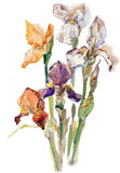 Fleurs d'iris d'aquarelle Photos libres de droits