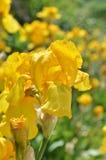 Fleurs d'iris dans le jardin Photo libre de droits