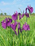 Fleurs d'iris (ensata d'iris) Photo stock