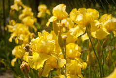 Fleurs 02 d'iris jaune Photo stock