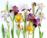 Fleurs d'iris réglées Photos stock