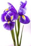Fleurs d'iris sur le fond blanc Images libres de droits