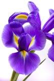 Fleurs d'iris sur le fond blanc Photo stock