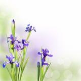 Fleurs d'iris sur le fond vert Photographie stock