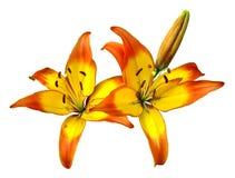 Fleurs d'isolement de tagliliens Photographie stock libre de droits