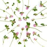 Fleurs d'isolement de trèfle Image libre de droits