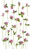 Fleurs d'isolement de trèfle Photographie stock libre de droits