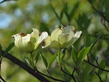 Fleurs d'isolement sur l'arbre de cornouiller photo stock