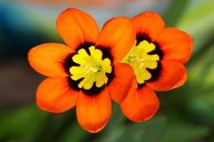 Fleurs d'Ixia Images libres de droits