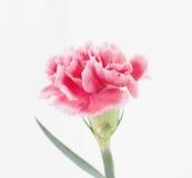 Fleurs d'oeillet étroites sur le fond Photos libres de droits