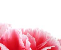 Fleurs d'oeillet étroites sur le fond Photographie stock libre de droits