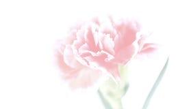 Fleurs d'oeillet étroites sur le fond Photos stock