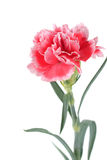 Fleurs d'oeillet étroites sur le fond Image libre de droits