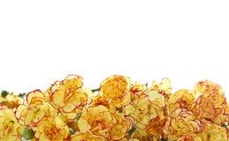 Fleurs d'oeillet Photo stock