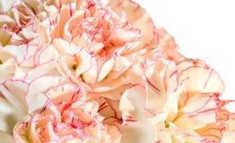 fleurs d'oeillet de fond Images stock
