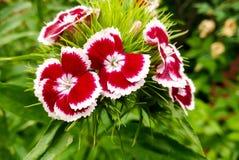 Fleurs d'oeillet de jardin images libres de droits