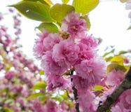 Fleurs d'oeillet, doucement rose photographie stock libre de droits