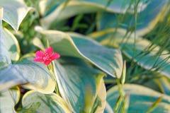 Fleurs d'oeillet et khosta décoratifs d'herbe Fond de fleur images stock