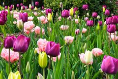 Fleurs d'oeillets de tulipes photographie stock libre de droits