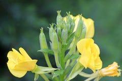 Fleurs d'oenothère biennale Image libre de droits