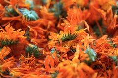 Fleurs d'officinalis de Calendula Photo stock