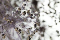 Fleurs d'oignon Image stock