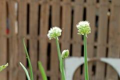 Fleurs d'oignon Photo libre de droits