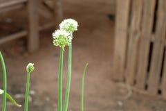 Fleurs d'oignon Photographie stock