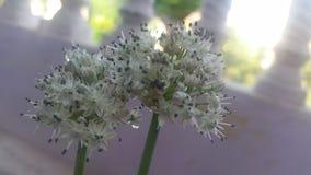 Fleurs d'oignon Photographie stock libre de droits