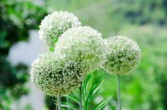 Fleurs d'oignon blanc Photo stock