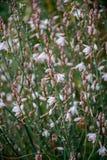Fleurs d'oignon blanc images stock