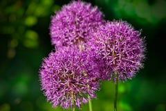 Fleurs d'oignon pourpré Images stock