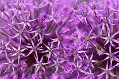 Fleurs d'oignon pourpré Photographie stock libre de droits