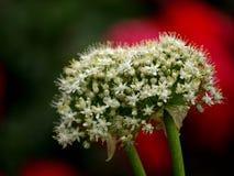 Fleurs d'oignon sur le fond rouge Photographie stock libre de droits
