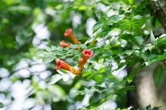 Fleurs d'oiseau de ronflement Images libres de droits