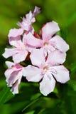 Fleurs d'oléandre de Nerium Image stock