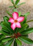 Fleurs d'oléandre de Nerium Photographie stock libre de droits