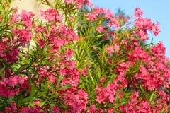 Fleurs d'oléandre Jardin fleurissant d'oléandre Photos stock