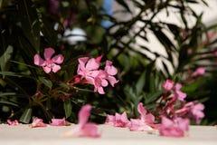 Fleurs d'oléandre rose Photographie stock