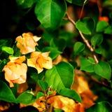 Fleurs d'orange de bouganvillée Image libre de droits