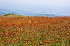 Fleurs d'orange de pré Image libre de droits