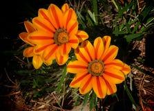 Fleurs d'orange de rayon de soleil Images stock