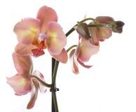 Fleurs d'orchidée Photo libre de droits