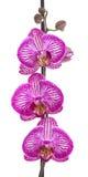 Fleurs d'orchidée Image stock