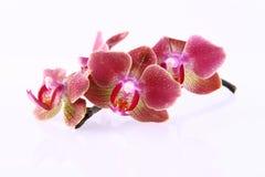 Fleurs d'orchidée Image libre de droits