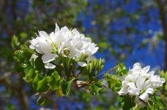 Fleurs d'orchidée d'Anacacho, San Antonio Botanical Garden photos stock