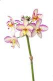 Fleurs d'orchidée d'isolement Image stock
