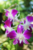Fleurs d'orchidée de Dendrobium Photo stock